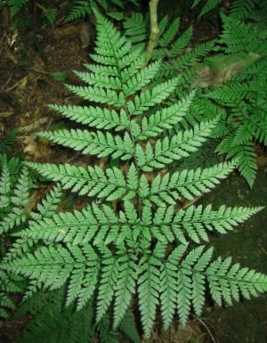 Foto Don Batten Postava 3.Fosílie tropických rostlin, jako je toto moderní kapradí, jsou často nalezeny voblastech, které jsou blízko severního nebo jižního pólu. Na snímku jeDickensonia antarctica.